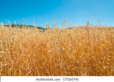 Oat fields ready for harvesting in summer