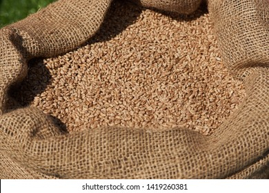 Oat grains in burlap sack, close-up. Barley beans bag. Malt or wheat Grains. Food and agriculture concept