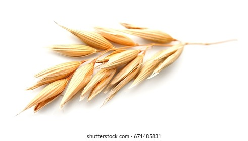Oat plant isolated on white isolated closeup .