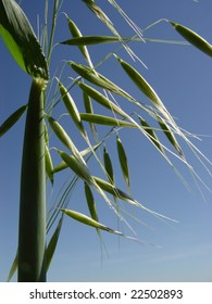 Oat plant with panicles