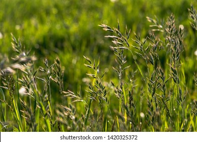 Oat Plants on a Field in Spring. The Oatplants in the Foreground and fresh green Fifield in the Background