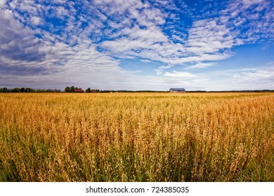 The oat is ready for harvesting in the Northern Finland. The sun colors the fields golden.