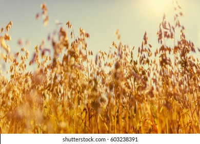 Oat rural field warm sunny golden summer day country farm countryside food healthy Finland