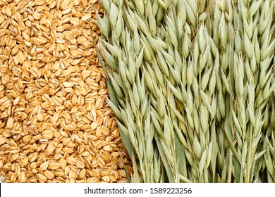 Oatmeal flakes and oat ears background. Oat plant and oat flakes close up.