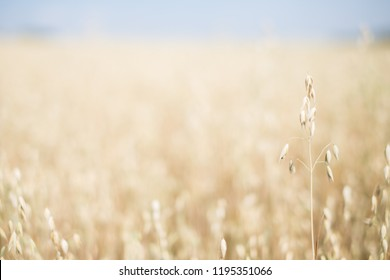 Oats field at sunny day with defocused background