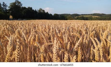 oats field sunset
