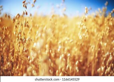 oats in the field yellow background