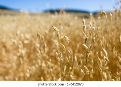 Oats Growing in a Field