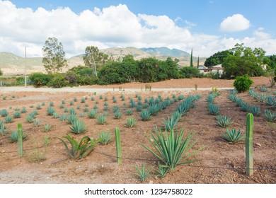 Oaxaca / Mexico - September 18th, 2018: Fabricas de Mezcal en Oaxaca (Mezcal Factories in Oaxaca)