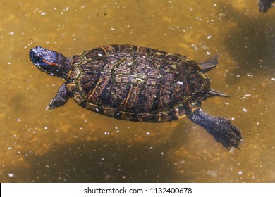 An obaknovennaya marsh turtle in the water of a small forest pond. Red-eared swamp. Wildlife, water world of reptiles
