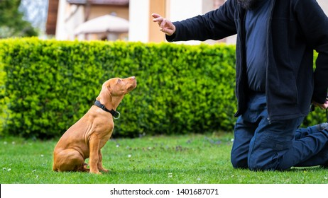 Obedience training. Man training his vizsla puppy the Sit Command using treats.