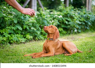 Obedience training. Man training his vizsla puppy the Lie Down Command using ball as positive reinforcement.