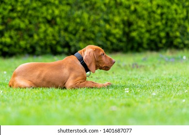 Obedience training. Vizsla puppy learning the Lie down Command. Cute Hungarian Vizsla puppy laying down on lawn.