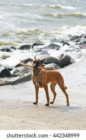 Obedient Belgian Shepherd dog Malinois staying near the sea while storming and holding a stick