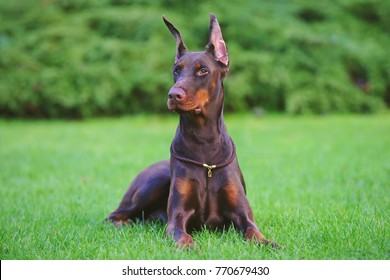 Doberman Natural Ears Images Stock Photos Vectors Shutterstock