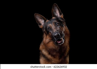 Obedient dog German Shepherd on a black background. Portrait and emotions