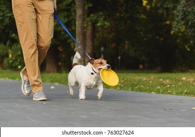 Obedient dog next to owner walking on leash holding toy in mouth