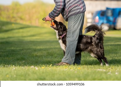 Obedient dog plays with his owner - Border collie