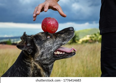 Obedient dog training in the countryside, playing with a ball