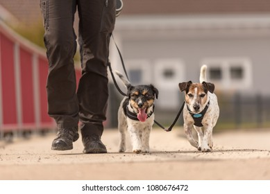 Obedient dogs walk on a leash with their owner in the village - cute Jack Russell Terriers