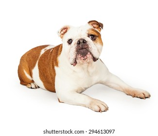 An obedient English Bulldog laying while looking forward.