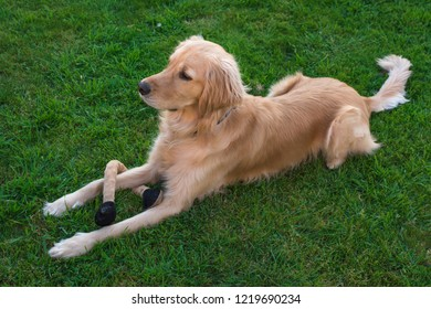Obedient Golden Retriever