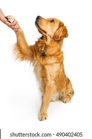 Obedient Golden Retriever dog sitting to side raising paw to shake hands with a person