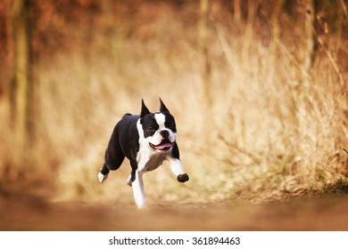 obedient, happy, beautiful, healthy and young black Boston terrier or french bulldog puppy running fast on a dirt road, flying