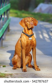 Obedient Hungarian Vizsla dog sitting outdoors at sunny weather