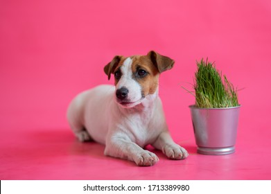 Obedient jack russell terrier lying next to a steel pot of fresh grass. Cute little white puppy with red spots with a houseplant on a pink background.