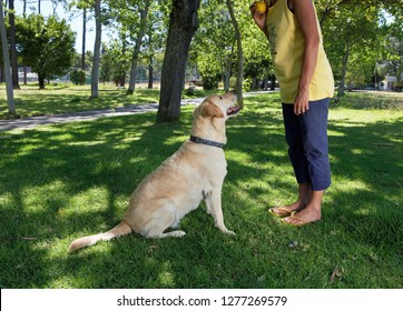 Obedient Labrador dog in park waiting for ball to be thrown by female owner