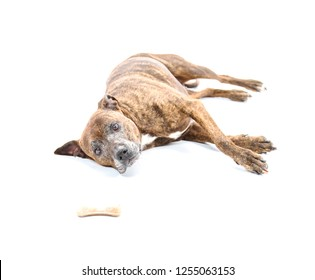 Obedient pit bull dog lying down while looking at a bone against a white background