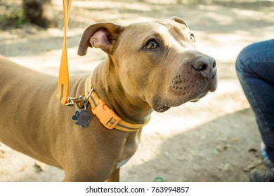 An obedient young pitbull dog trains and sits for treats with his owner in a park.