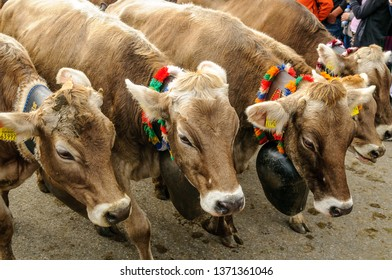 OBERMAISELSTEIN, BAVARIA / GERMANY - SEPTEMBER 23 2017: adorned cattle at the traditional annual Almabtrieb / Viehscheid in Allgaeu