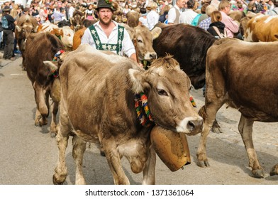OBERMAISELSTEIN, BAVARIA / GERMANY - SEPTEMBER 23 2017: man wearing lederhosen with adorned cattle at the traditional annual Almabtrieb / Viehscheid in Allgaeu