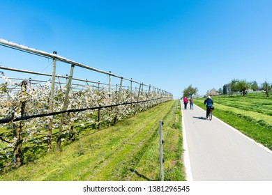Oberwil, ZG / Switzerland - 20 April 2019: tourists enjoy a walk and a bicycle ride in the countryside along rows of blossoming cherry trees