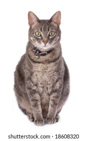 Obese cat due to castration. Domestic animal health issues.