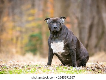 An obese Pit Bull Terrier mixed breed dog sitting outdoors