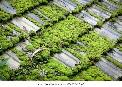 Oblique moss roof.