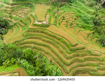 Oblique view of rice terraces with mature crop ready for harvesting in Tegalalang, Ubud