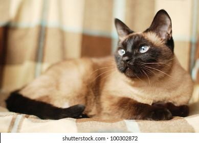observer blue eyes siamese cat