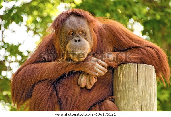The observer. An orangutan watching the world go by.