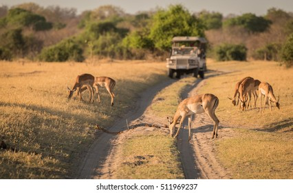 Observing Impala on safari, Botswana