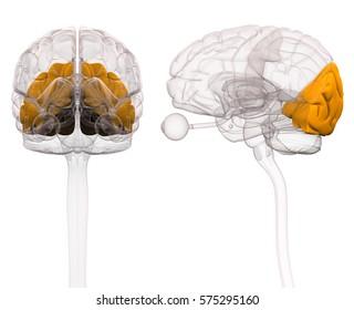 Occipital Brain Anatomy - 3d illustration