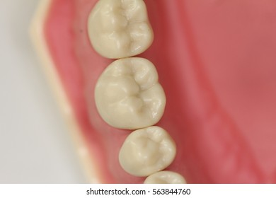 Occlusal view of lower premolar and molar teeth model.