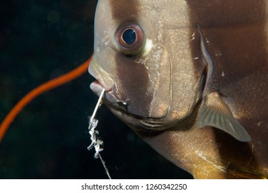 Ocean Environmental Destruction / Marine Protection / Bat Fish with Fishhook through its Mouth from Tourist Night Fishing