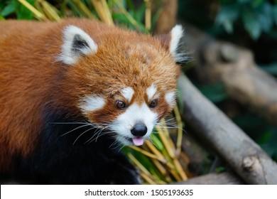 Ocean Park, Aberdeen, Hong Kong - 2 March 2019: Close up of a cute Firefox that lives in Ocean Park, a famous theme park in Hong Kong.