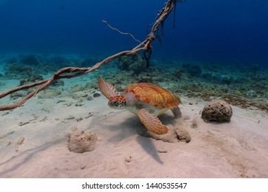 Ocean seabed, anchor ropes and swimming green sea turtle (Chelonia mydas). Scuba diving in the shallow bay with turtles, underwater photography. Marine wildlife, animal in the ocean.