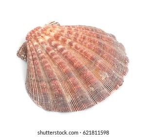Ocean shell isolated on white