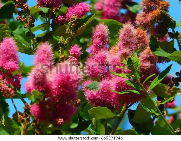 Ocean Spray Flowering Shrubs Pacific Northwest Stock Photo Edit